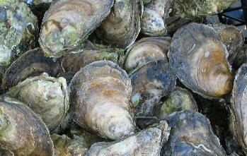 welfleet-oysters